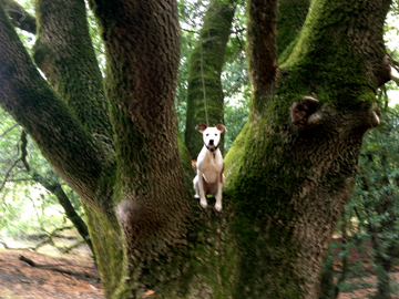 Training a dog to climb a tree