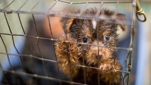 rescue-puppy